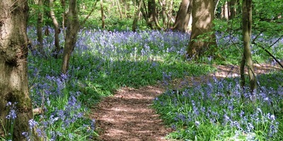 Path running through the middle of bluebells in a wood