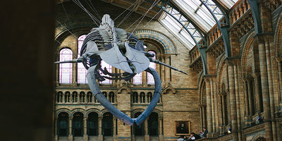 Skeleton of blue whale hanging from ceiling of Natural History Museum